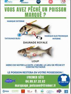 Méditerranée: premiers résultats sur les migrations des poissons des lagunes